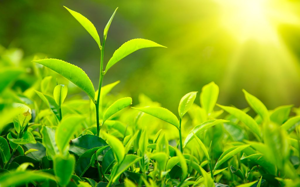 8812963-green-tea-leaves-fuelpr